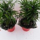 """Two Victorian Parlor Palm Chamaedorea 4"""" Pot Decorative Pot Cover"""