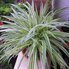 """Reverse Variegated Spider Plant - Easy to Grow - Cleans the Air - 4""""ceramic Pot"""