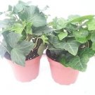 "Two Baltic English Ivy Plant Hardy Groundcover 4"" Pot/ From Jmbamboo"
