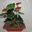 Anthuriums- Red Kit Set (FREE SHIPPING)