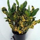 "Banana Croton - 3.5"" Pot - Colorful House Plant"