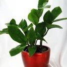 """Rare ZZ Plant Zamioculcas zamiifolia House Plant Bonsai with 4"""" Candy Red Cerami"""