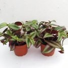"Two Purple Wandering Jew - 4"" Hanging Pot - Easy to Grow House Plant - Inch Plan"