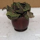 "Fittonia ''Red Anne'' Plant - Easy to Grow - Cleans the Air - 4""ceramic Pot"