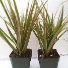 Two Strong Dracaena Marginata Colorama - Tri-color Dragon Tree Houseplant From J