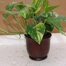 """Golden Devil's Ivy - Pothos - Epipremnum - 4"""" ceramic Pot red color - Very Easy"""