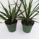 "Two Madagascar Dragon Tree - Dracaena Marginata - 4"" Pot - Easy to Grow House Pl"
