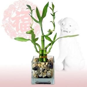 Little Cutie Lucky Bamboo Plant Arrangement