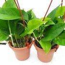 "Two Golden Devil's Ivy Pothos Epipremnum 4.5"" Hanging Pot - Very Easy to Grow"