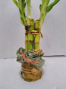 6 Straight Lucky Bamboo with Dragon Design Vase 3.5 '' (FREE SHIPPING)