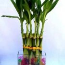 1 Set (6 Stalks) of Lucky Bamboo Straight Arrangement in a Galss Vase