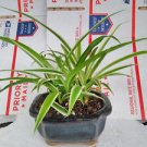 Reverse Variegated Spider Plant - Bonsai Pot 4x4x2 (FREE SHIPPING)