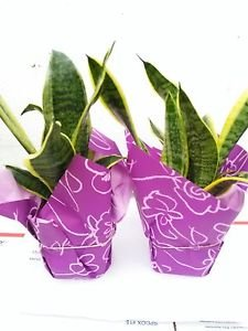 """Two Snake Plant Sansevieria 4"""" Pot Wrapped-unique From Jmbamboo"""