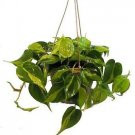 "Brazil Philodendron 6"" Hanging Basket - Low Light - Easy"