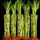 KL Design & Import - 50 Stalks Of 8 Inch Straight Lucky Bamboo For Feng Shui Or