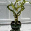 live Love Heart Style Lucky Bamboo Arrange w/ ceramic Vase (FREE SHIPPING)