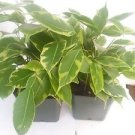 "Two Java Starlight Weeping Fig Tree - Indoor or Bonsai -Ficus - 4"" Pot"