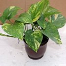 "Golden Devil's Ivy - 4"" ceramic Pot red color (FREE SHIPPING)"