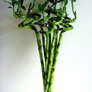 10 Stalks of 18 Inches Spiral Lucky Bamboo, + 10 Bottles of mo'green Lucky Bambo