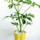 Hawaiian Umbrella Schefflera Tree - Ceramic yellow Pot and Pebbles FREE SHIPPING