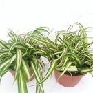 "Two Ocean Spider Plant Easy to Grow Cleans the Air NEW 4"" Pot"