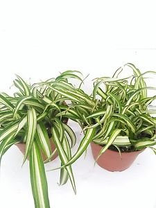 """Two Ocean Spider Plant Easy to Grow Cleans the Air NEW 4"""" Pot"""