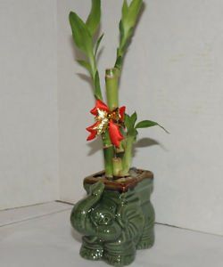 Live 3 Style Lucky Bamboo Arrangement w/Ceramic elephant Vase (FREE SHIPPING)