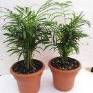 """Two Victorian Parlor Palm Chamaedorea Indestructable 4.5"""" Unique Design Pot"""