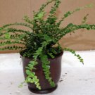 "Lemon Button Fern 4"" W/ceramic-pot - Nephrolepis cordifolia Duffii FREE SHIPPING"