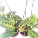 "Two Red Prayer Plant Maranta 4"" Hanging Pot -/From Jmbamboo"