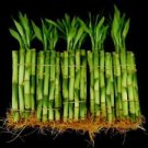 150 Stalks (15 Bundles) of 6 Inches Straight Lucky Bamboo (FREE SHIPPING)