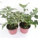 Two Fairy Garden Hypoestes Confetti, Red Polka Dot Plant