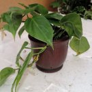 """Heart Leaf Philodendron - 4""""ceramic Pot color red (FREE SHIPPING)"""