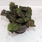 "Red Veined Nerve Plant - Fittonia - 4"" Red ceramic-pot (FREE SHIPPING)"