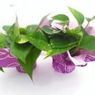 Two Golden Devil's Ivy Pothos 4'' Pot - Gift Wrapped Plant