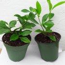 White Gardenia - 2 Set - 4'' pot
