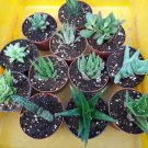 "Haworthia Collection 10 Plants - Easy to Grow/hard to Kill - 3"" Pot"