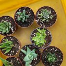 """Roll over image to zoom in    Haworthia Collection 8 Plants - Easy to Grow/hard to Kill - 3"""" Pot"""