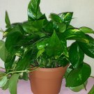 Golden Pothos Plant, 6'' Inch Decorative Pot, Free Organic Fertilizer (FREE SHIPPING)