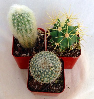 "Instant Cactus Collection - 3 Plants - 2"" Pots - Excellent for Fairy Gardens (FREE SHIPPING)"