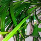 Areca Palm Plant - Dypsis Lutescens - Easy to grow!! (FREE SHIPPING)