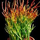 "Fire Sticks Pencil Cactus - Euphorbia - Easy to grow - 6"" Pot (FREE SHIPPING)"