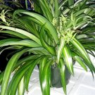 "Ocean Spider Plant - Easy to Grow - Cleans the Air - NEW - 8"" Hanging Basket (FREE SHIPPING)"