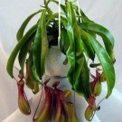 "Asian Pitcher Plant - Carnivorous - Exotic - 6"" Hanging Basket (FREE SHIPPING)"