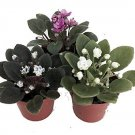 """Miniature African Violet - 3 Plants/2"""" Pot - Great for Terrariums/Fairy Gardens (FREE SHIPPING)"""