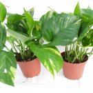 """two - Golden Devil's Ivy - Pothos - Epipremnum - 4"""" Pot - Very Easy to Grow  (FREE SHIPPING)"""