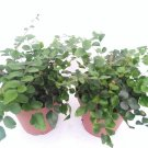 "Two Button Fern - Pellaea - Easy to Grow 4"" Pot (FREE SHIPPING)"