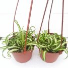 "Two Bonnie Curly Spider Plant Easy Cleans the Air - 4"" Pot (FREE SHIPPING)"