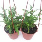 "Two Lemon Button Fern 4"" Hanging Basket - Nephrolepis (FREE SHIPPING)"