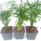 Three Victorian Parlor Palm Chamaedorea Indestructable 2.5 Pot (FREE SHIPPING)